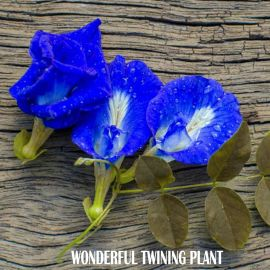 This wonderful twining plant generously bears quite large flowers
