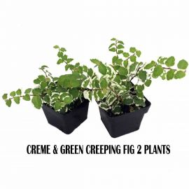 Creme & Green Creeping Fig 2 Plants