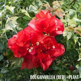 Bougainvillea (Red) - Plant