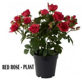Red Rose - Plant
