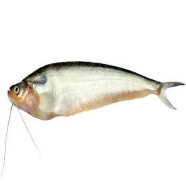 Pabda / Pabda Catfish / পাবদা