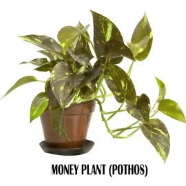 The Money plant (Pothos)
